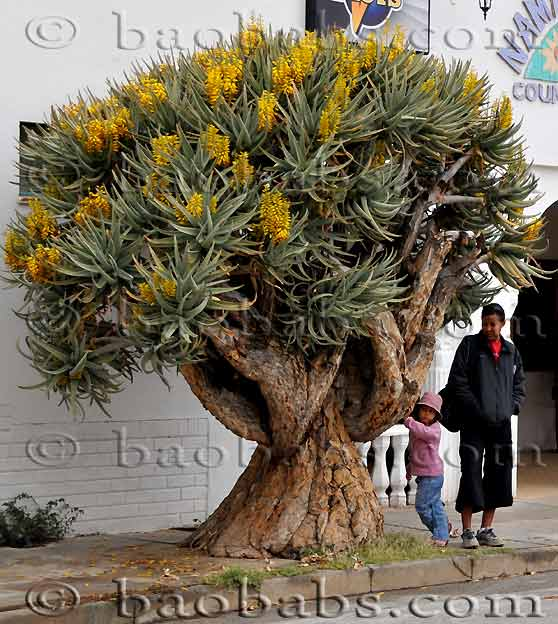 http://www.seedsplants.com/PH/Aloe_dichotoma.jpg