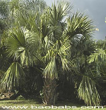 palmetto sabal jamesiana sabal parviflora sabal viatoris palmetto ...