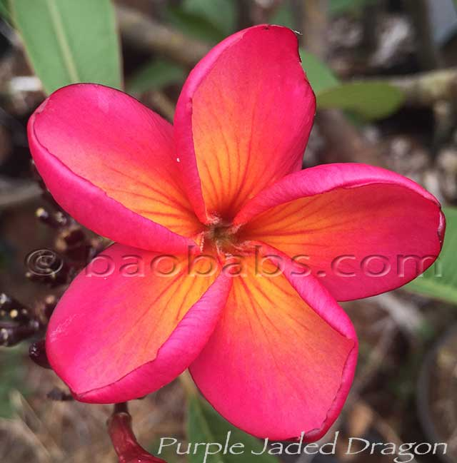 Plumeria rubra PURPLE JADE DRAGON