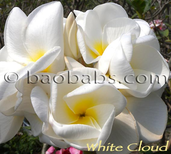 Plumeria rubra WHITE CLOUD