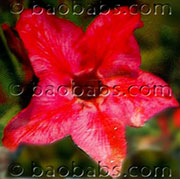 Adenium  RED STAR P05