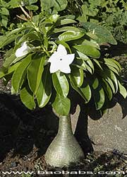 Pachypodium decaryi