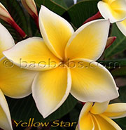 Plumeria rubra LJN YELLOW STAR