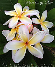 Plumeria rubra MORNING STAR
