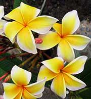 Plumeria rubra AZTEC GOLD aka X*SOUTH FLORIDA GOLD, KEY LARGO GOLD