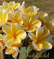 Plumeria rubra HEIDI GOLD aka HEIDI, PURE GOLD, KOKOHEAD YELLOW, PETERSON'S GOLD , ROBERT ANSPACH'S YELLOW, ROBAN'S YELLOW