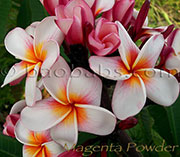 Plumeria rubra MAGENTA POWDER aka GEE PHET , GEE PETCH , GEE PET, JEE PETCH , CATHAY PEARL , MALEE, JEEPIT