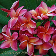 Plumeria rubra ORANGE SIXTY aka DULCEMIA , ORANGE 60, MAI TAI, 4108