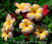 Plumeria rubra RATIGKAM ORANGE