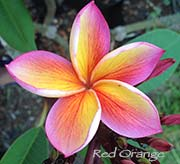 Plumeria rubra RED-ORANGE aka JL RED-ORANGE