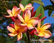 Plumeria rubra SOM CHOROTON aka SOM CHORATON, ORANGE CHOROTON, SOMCHALOTHORN, ORANGE CHALOTHORN