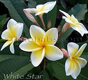 Plumeria rubra WHITE STAR aka X*CELADINE,HAWAIIAN YELLOW, GRAVEYARD YELLOW, COMMON YELLOW , COMMON CREAM, YELLOW, HUEVOS, COMMON WHITE