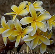 Plumeria rubra YELLOW MOON
