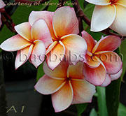 Plumeria rubra ANGEL CROWN aka X*A1,ANGEL CROWN