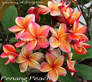 Plumeria rubra PENANG PEACH aka  SOM GARASIN, THAI GOLD, THAI YELLOW, THAI SALMON, CALIFORNIA SUNSET, SOM KALISIN, THAI GOLD