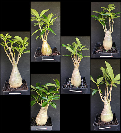 Pachypodium decaryi Selection SAB