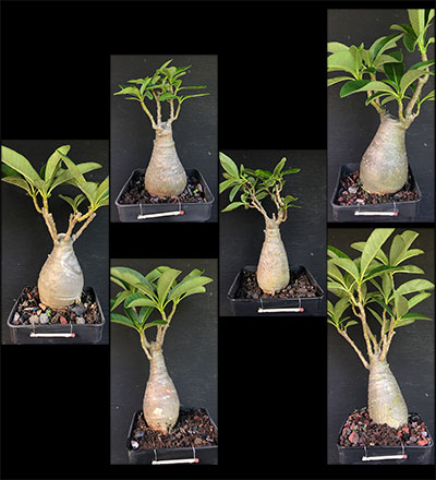 Pachypodium decaryi Selection SAC