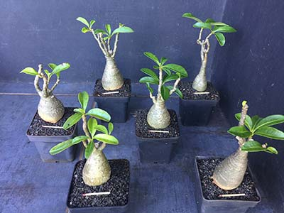 Pachypodium baronii windsorii Selection SAJ