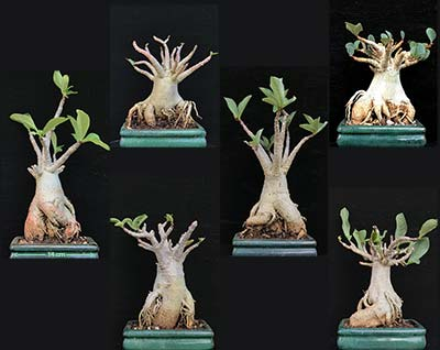 Adenium THAI SOCOTRANUM Selection SAO