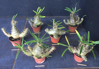 Pachypodium gracilius Selection Sa