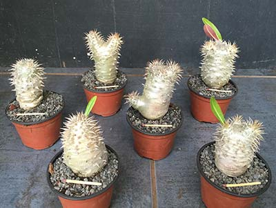 Pachypodium densiflorum Selection Sd